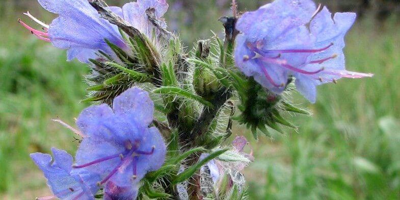 Цветок синяка обыкновенного