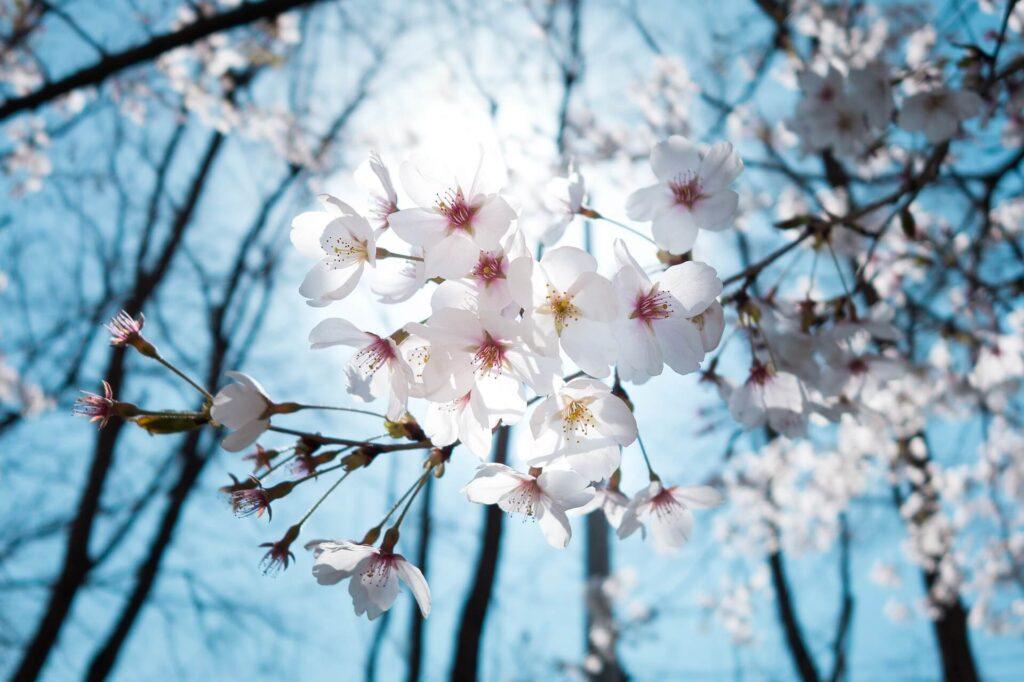 цветіння вишні
