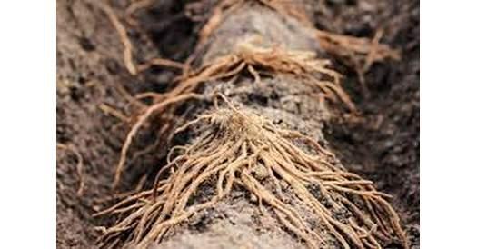Розміщення корення спаржі